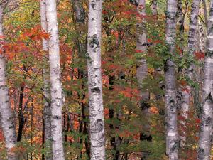 Forest Landscape and Fall Colors, North Shore, Minnesota, USA by Gavriel Jecan