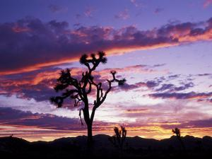 Joshua Tree at Sunset, California, USA by Gavriel Jecan