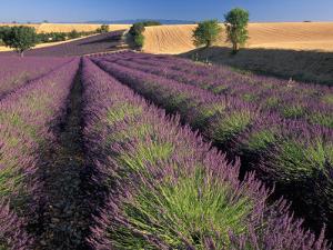 Lavender Field, Provence, France by Gavriel Jecan