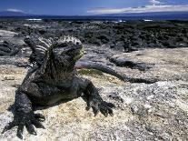 Marine Iguana, Galapagos Islands, Ecuador-Gavriel Jecan-Photographic Print