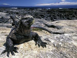 Marine Iguana, Galapagos Islands, Ecuador by Gavriel Jecan