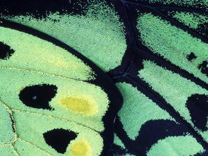 Poseidon Butterfly, Papua New Guinea by Gavriel Jecan