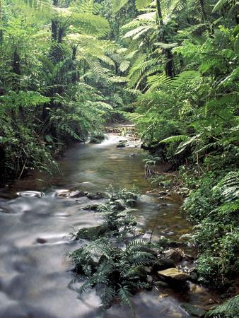 Rainforest Tree Fern and Stream, Uganda
