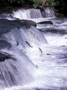 Salmon Leap Over Brooks Falls at Katmai National Park, Alaska, USA by Gavriel Jecan