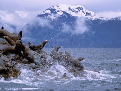 Stellar Sea Lions, Glacier Bay, Alaska, USA