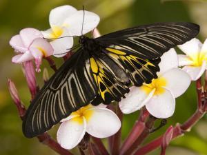 The Golden Birdwing, Khon Kaen, Thailand by Gavriel Jecan