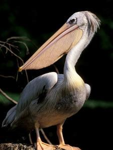 White Pelican, Everglades, Florida, USA by Gavriel Jecan