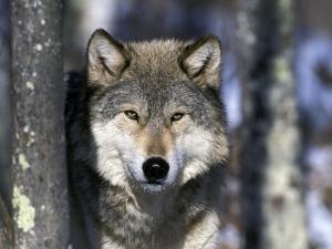 Wolf, Minnesota, USA by Gavriel Jecan