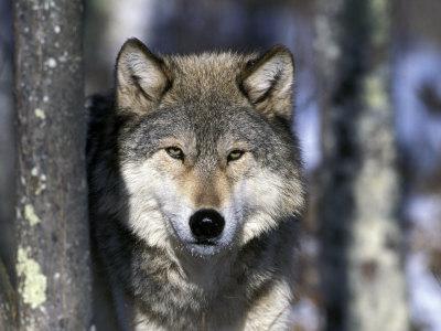 Wolf, Minnesota, USA