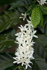 Coffee plant in bloom with bumblebee by Gayle Harper