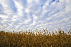 Corn field with blue sky and beautiful clouds by Gayle Harper