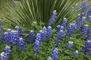 Texas Hill Country wildflowers, along the 16-mile Willow City Loop. Bluebonnets by Gayle Harper