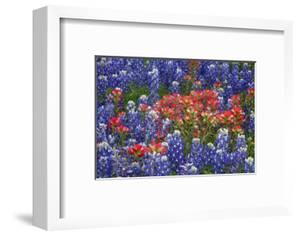 Texas Hill Country wildflowers, Texas. Bluebonnets and Indian Paintbrush by Gayle Harper