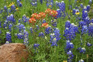 Texas Hill Country wildflowers, Texas. Bluebonnets and Indian Paintbrushes by Gayle Harper