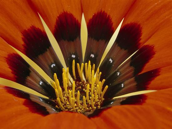 Gazania, Niewoudtville, South Africa-Frans Lanting-Photographic Print