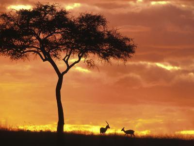 Gazelle Grazing Under Acacia Tree at Sunset, Maasai Mara, Kenya-John & Lisa Merrill-Photographic Print