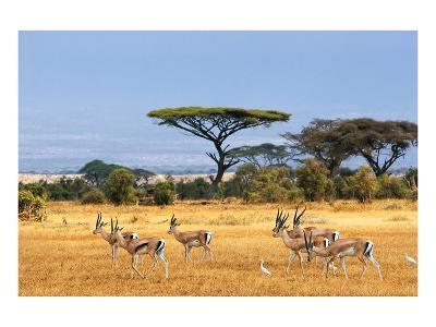 Gazelles Amboseli Kenya Africa--Art Print