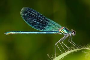 Dragonfly Outdoor (Coleopteres Splendes) by geanina bechea