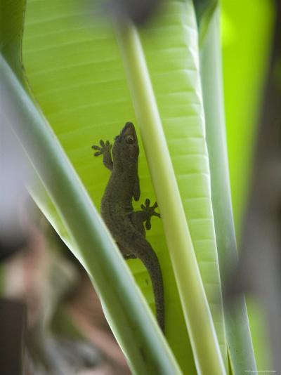Gecko on Leaf, Cousin Island Special Reserve Near Praslin Island, Cousin Island-Holger Leue-Photographic Print