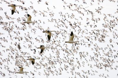 Geese Flying in Formation-DLILLC-Photographic Print