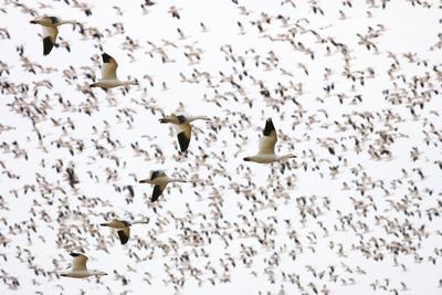 https://imgc.artprintimages.com/img/print/geese-flying-in-formation_u-l-pzs9cy0.jpg?p=0