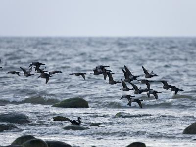 Geese Flying over a Sea--Photographic Print