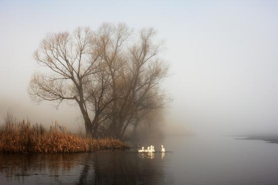 Geese in Fog. Flock of Birds Swims near Shore of River under Trees. Beautiful Spring Landscape in M- arvitalyaa-Photographic Print