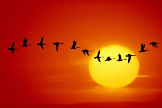 GEESE SILHOUETTED IN FLIGHT ACROSS SUN-Mitchell Funk-Photographic Print