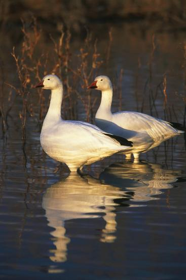 Geese Standing in Pool, Bosque Del Apache National Wildlife Refuge, New Mexico, USA-Hugh Rose-Photographic Print