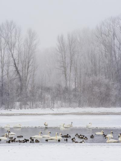Geese, Swans and Ducks at Pond Near Jackson, Wyoming-Howie Garber-Photographic Print
