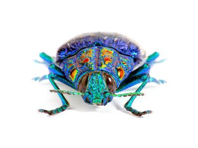 Gemma Woodboring Beetle-Christopher Marley-Photographic Print