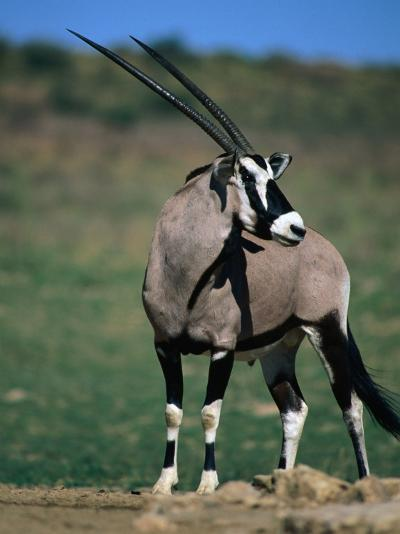 Gemsbok or South African Oryx, Kgalagadi Transfrontier Park, Northern Cape, South Africa-Carol Polich-Photographic Print