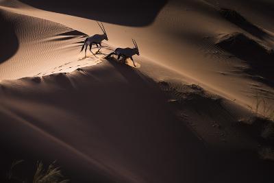 Gemsbok (Oryx Gazella) Two Walking across Sand Dunes, Aerial View. Namibia-Wim van den Heever-Photographic Print