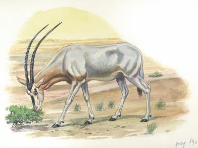 Gemsbok Oryx Gazella--Giclee Print