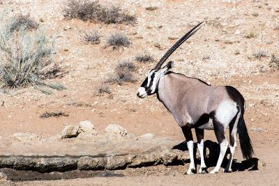 Gemsbok, Oryx Gazella-Artush-Photographic Print