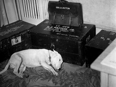 General Georg Patton's Pet Bull Terrier 'Willie'--Photo