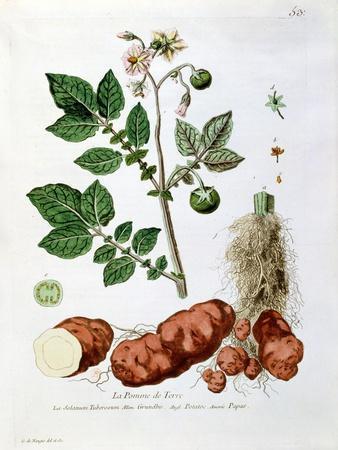 """Potato, Botanical Plate from """"La Botanique Mise a La Portee De Tout Le Monde"""""""