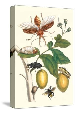 Genip Tree with Palm Weevil, a Long Horned Beetle and an Orchid Bee-Maria Sibylla Merian-Stretched Canvas Print