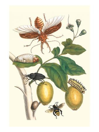 Genip Tree with Palm Weevil, a Long Horned Beetle and an Orchid Bee-Maria Sibylla Merian-Art Print