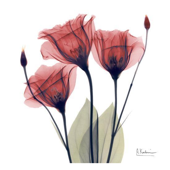 Gentian Trio in Red-Albert Koetsier-Art Print