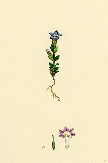 Gentiana Nivalis Small Alpine Gentian--Giclee Print