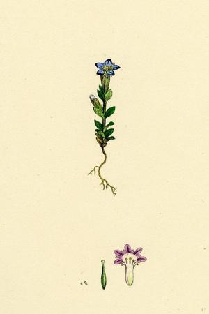 https://imgc.artprintimages.com/img/print/gentiana-nivalis-small-alpine-gentian_u-l-pvfqd10.jpg?p=0