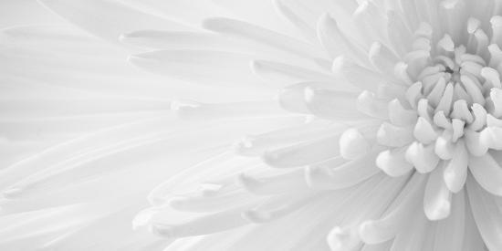 Gentle Crysanthumum 1-Doug Chinnery-Photographic Print