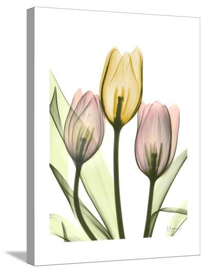 Gentle Tulips-Albert Koetsier-Stretched Canvas Print