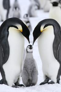 Emperor Penguins (Aptenodytes Forsteri) by Gentoo Multimedia