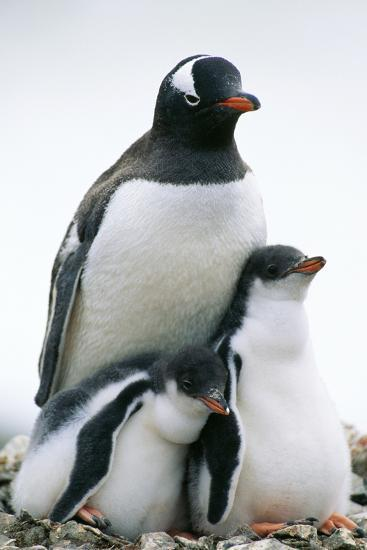 Gentoo Penguin Adult with Two Chicks--Photographic Print