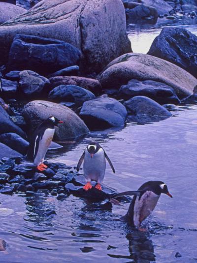 Gentoo Penguin, Antarctica-Joe Restuccia III-Photographic Print