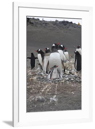 Gentoo Penguin. Barrientos Island, South Shetland Islands Antarctica.-Tom Norring-Framed Photographic Print