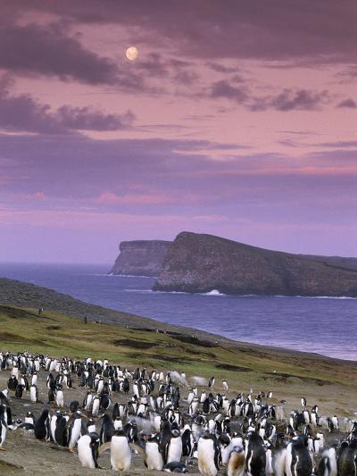 Gentoo Penguin Colony at Twilight, Pygoscelis Papua, Falkland Islands-Frans Lanting-Photographic Print
