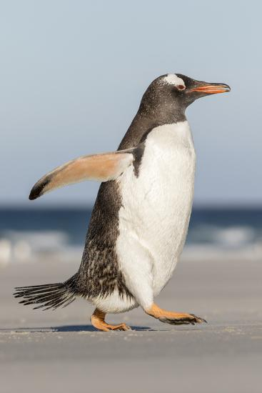 Gentoo Penguin Falkland Islands. Marching at evening to the colony.-Martin Zwick-Premium Photographic Print